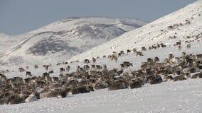 Kudde van het rusten herten stock footage