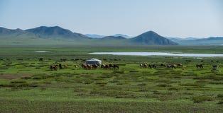 Kudde van het weiden van paarden Stock Foto's
