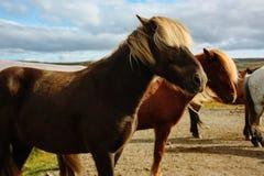Kudde van Ijslandse paarden Stock Afbeeldingen