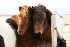 Kudde van Ijslandse poneys Royalty-vrije Stock Foto's