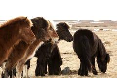 Kudde van Ijslandse poneys Royalty-vrije Stock Fotografie