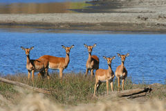 Kudde van Impala stock foto's