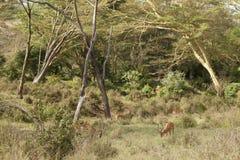 Kudde van impala Stock Afbeelding