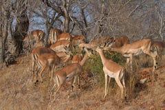 Kudde van impala die in de Afrikaanse struik doorbladert Royalty-vrije Stock Fotografie
