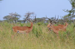 Kudde van impala gazzelles in serengeti nationaal park in Tanzania Stock Foto's
