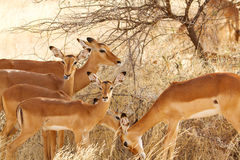 Kudde van impala's Stock Afbeelding