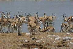 Kudde van impala's Stock Foto