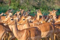 Kudde van impala's royalty-vrije stock afbeeldingen