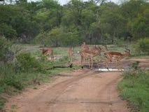 Kudde van impala's in Zuid-Afrika Stock Afbeelding