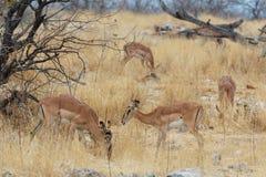 Kudde van Impalaantilope in savanne Royalty-vrije Stock Foto's
