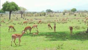 Kudde van Impalaantilopen die en gras rusten eten stock footage