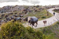 Kudde van Italiaanse koeien Sheppard Stock Fotografie