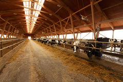 Kudde van jonge koeien in koeiestal Stock Foto's