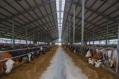 Kudde van jonge koeien in koeiestal Stock Afbeelding