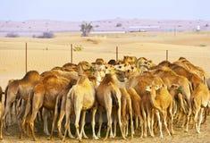 Kudde van kamelen in de woestijn Royalty-vrije Stock Foto's