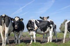 Kudde van koeien, één koe het bemoeizieke binnen kijken over de rug van een andere koe, zwart-witte koeien, in het midden van een stock fotografie