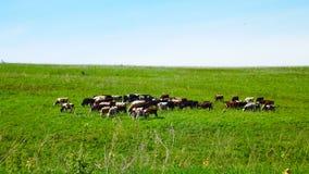 Kudde van koeien stock foto's