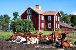 Kudde van koeien. royalty-vrije stock foto