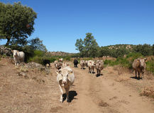 Kudde van koeien Stock Afbeelding