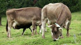 Kudde van koeien Royalty-vrije Stock Foto