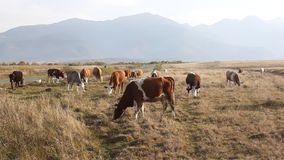 Kudde van koeien Royalty-vrije Stock Afbeelding