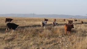 Kudde van koeien stock footage