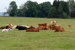 Kudde van koeien stock afbeeldingen