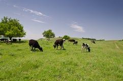 Kudde van koeien Stock Foto