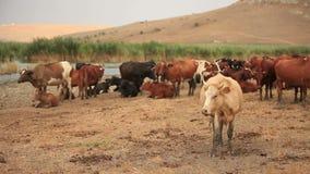 Kudde van koeien stock video