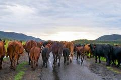 Kudde van koeien in Australië Stock Foto's