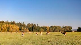 Kudde van koeien bij de zomer groen gebied royalty-vrije stock afbeeldingen