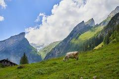 Kudde van koeien bij mooi groen gebied, Zwitserland royalty-vrije stock foto