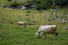 Kudde van koeien bij mooi groen gebied, Zwitserland stock foto