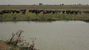 Kudde van Koeien bij Reservoir stock videobeelden