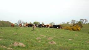 Kudde van koeien die in de weide weiden stock footage