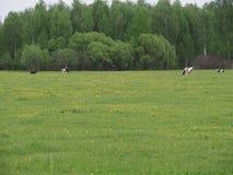 Kudde van koeien die in de weide weiden stock afbeeldingen