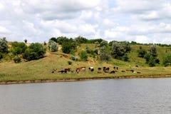 kudde van koeien die dichtbij een vijver weiden stock afbeeldingen