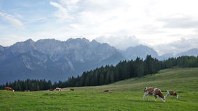 kudde van koeien die in een weiland in bergen, Alpen weiden stock videobeelden