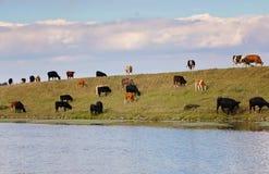 Kudde van koeien die en bovenop een rivierbank lopen weiden Royalty-vrije Stock Afbeelding