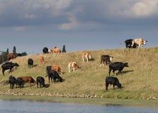 Kudde van koeien die en bovenop een rivierbank lopen weiden Stock Fotografie