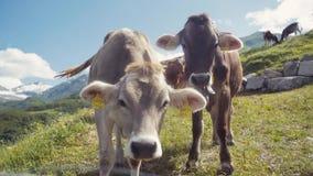 Kudde van koeien die en op een Alpiene weide met de majestueuze sneeuwpieken in de afstand weiden ontspannen De landbouwactivitei stock footage