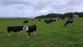 Kudde van koeien die op een enorm leeg gebied van gras weiden stock video