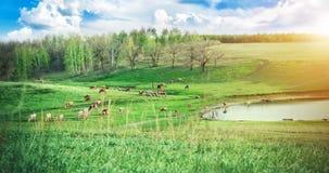 Kudde van koeien die op een groene weide dichtbij het meer in de heuvels bij zonnige de zomerdag weiden Het schilderachtige lands stock fotografie