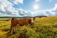 Kudde van koeien die op zonnig gebied weiden Stock Foto