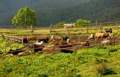 Kudde van koeien die rust hebben Royalty-vrije Stock Foto