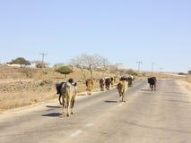 Kudde van koeien die weg nabijgelegen Salalah lopen royalty-vrije stock foto's