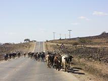 Kudde van koeien die weg nabijgelegen Salalah lopen stock fotografie