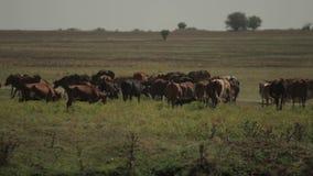 Kudde van Koeien door Honden worden achtervolgd die stock video
