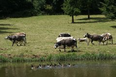 Kudde van koeien en een kalf ganzen die in water zwemmen Royalty-vrije Stock Fotografie
