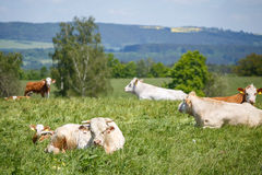 Kudde van koeien en kalveren Royalty-vrije Stock Afbeeldingen